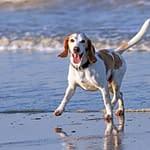 animal beach beagle 1280571